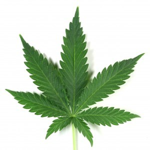 Cannabidiol Industrial Hemp Leaf