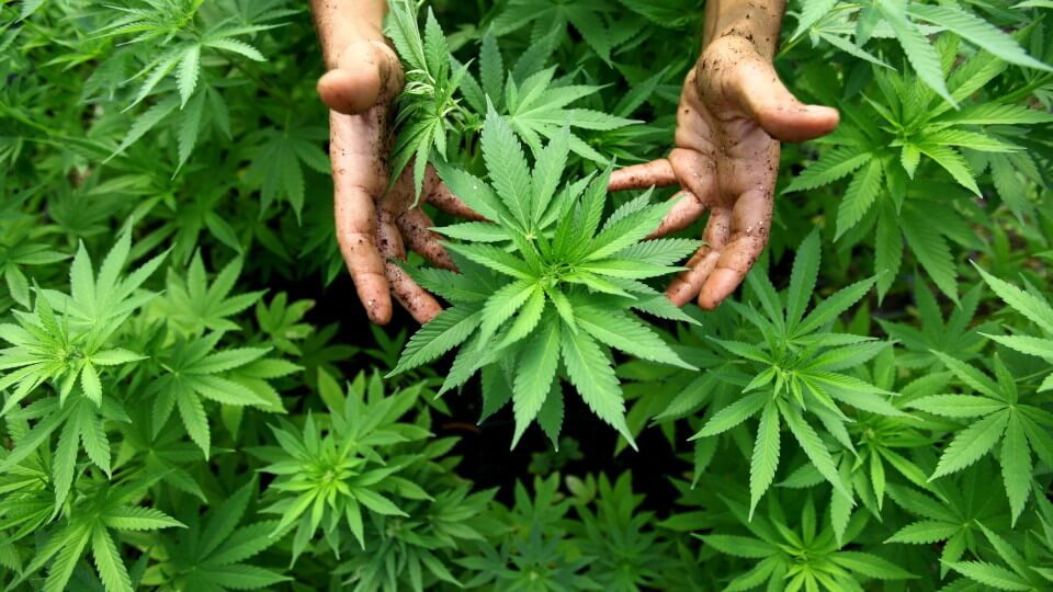 Marijuana Schedule 1